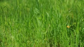 jardim formal : A close up of tall green grass moving in the breeze