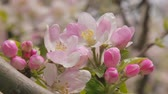 silence : Spring flowering of apple - background