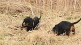 animal : Dachshund dog hunting for moles in the garden ground covered with dry grass. Handheld Steady 1920x1080 full hd footage.
