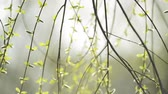salgueiro : Willow Branches Swinging in the Wind on a Bright Day at The Beginning of the Spring, Selective focus close up with shallow depth of field for cinematic look of this 1920x1080 full HD footage.