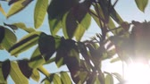 orzech : Walnut Treetop and Branches with Green Leaves with Morning Sunlight Shining Through Plants in Orchard.