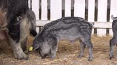 piglets : Domesticated Wild Boar or Wild Swine with Juvenile Piglets Feeding in Barn Stock Footage