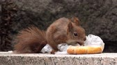 zbytky : Red Squirrel Feeding with Fast Food Leftovers, Wild Animal Behavior in Urban Environment