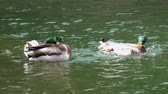 natural : Ducks Swimming in Pond on Sunny Summer Day, Playful Animal Behavior Stock Footage
