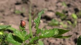 pesticide : Spraying Insecticide on Potato Beetle Bug Larvas in Cultivated Vegetable Garden