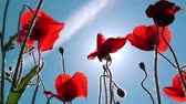 field : Red poppy flowers, low angle shot against sunny summer sky, uncultivated field of wild poppies.