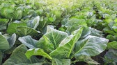 meal : Collard green field, cultivated vegetable landscape