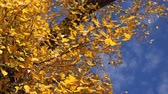 проливая : Low angle shot of deciduous autumn treetop, dry leaves falling from the branches. Стоковые видеозаписи