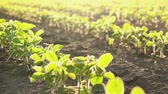 soja : Slider shot of young soybean plants growing in cultivated field, agricultural soy field rows in sunset.