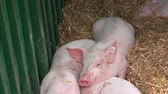piglets : Piglets on farm, young pigs in a barn.