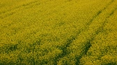 blooming : Static aerial view of cultivated rapeseed field with flowers Stock Footage