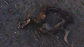 świnia : Wild boar carcass abandoned in field, dead wild animal remains