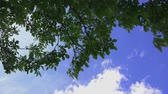 clorofila : Walnut treetop on a sunny day, branches and green leaves of fruit tree on spring afternoon Vídeos