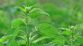 pokrzywa : Common stinging nettle close up, uncultivated weed plant growing in field