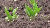 beterraba : Young small sugar beet plants in cultivated agricultural field