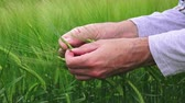 pesticide : Hands and green green wheat ears, farmer working in the field