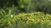 vegetable : Organic dill yellow flower in garden