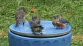 орнитология : Family of Eastern Bluebird (Sialia sialis) in a bird bath on a hot summer day