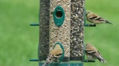 орнитология : American Goldfinches (Carduelis tristis) perched on a feeder with a green background Стоковые видеозаписи