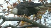 tollazat : Adult Bald Eagle (haliaeetus leucocephalus) in a tree eating a fish