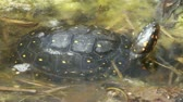 рептилия : Spotted turtle (Clemmys guttata), sunning himself Стоковые видеозаписи