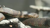 рептилия : Northern Water Snake (nerodia sipedon) sunning itself in spring