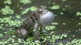 жаба : Male American Toad (Bufo americanus) performing a mating call during mating season