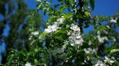 bloom : Blossoming apple tree