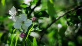 bloom : Blossoming apple. Stock Footage