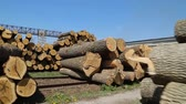 Freshly chopped tree logs Stock Footage