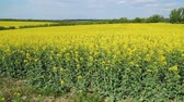 рапсовое : blooming yellow rapeseed
