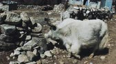 yak : white yak near the hut in the Himalayas Stock Footage