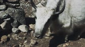 himalaia : big white yak eats grass among stones