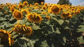 Field of sunflowers. A large flower of a sunflower. Stock Footage