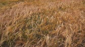 Spikelets of wheat on the field Stock Footage