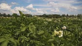 potato harvest : Large field of potato plants in bloom. Blue sky background. tracking shot