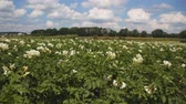 canteiro de flores : large white flowering potatoes in the garden. steadycam shot