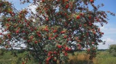a large tree in a field of red rowan. steadycam shoot