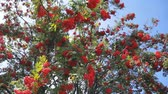 branches of red mountain ash with berries on blue sky background. Rowan-tree.