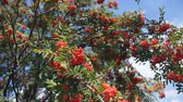 funda : Rowan in summer against the blue sky. Large red berries