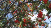 A bunch of the rowan berries. the frame goes into blur Stock Footage