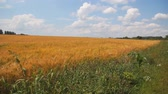 sows : agricultural yellow wheat field near blue sky whith clouds