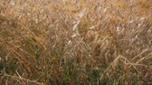 aveia : golden spikelets of oats and wheat Stock Footage