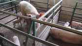 suckling : Piglet Breastfeeding. pig farm with sows Stock Footage