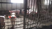 piglets : pigs on farm Group of animal. Stock Footage