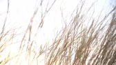 funda : Grass with sunlight in summer. Stok Video