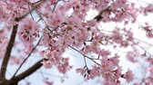 cherry blossom branch : Cherry blossom (Sakura) tree in springtime Stock Footage