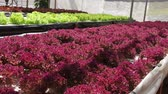 red cabbage : Hydroponic vegetable farm Stock Footage