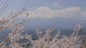 cherry blossom branch : Cherry blossom branch blooming with Mt. Fuji.