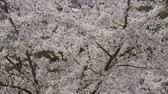 april : Sakura cherry blossom tree.